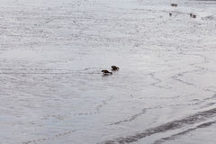 Une paire de forager australien de canards de canard souchet Photo libre de droits