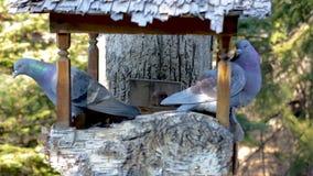 Une paire de grands pigeons gris se repose dans un conducteur d'oiseau avec leurs dos entre eux et effraye outre de petits oiseau clips vidéos
