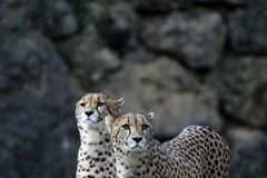 Une paire de guépards en parc photos stock