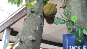 Une paire de jacquier sur un jacquier dans une forêt tropicale banque de vidéos