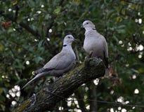 Une paire de jardin de tourterelles Photo stock