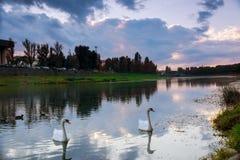 Une paire de jeunes cygnes nageant dans un étang Photographie stock libre de droits