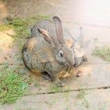 Une paire de lapins gris sur un fond clair en bois Photo stock