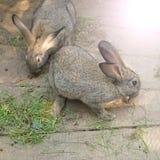 Une paire de lapins gris sur un fond clair en bois Photographie stock