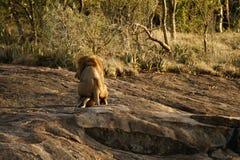 Une paire de lions de accouplement. Image libre de droits