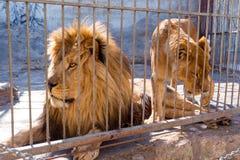 Une paire de lions en captivité dans un zoo derrière des barres Puissance et agression dans la cage Image stock