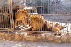Une paire de lions en captivité dans un zoo derrière des barres Puissance et agression dans la cage Photo stock