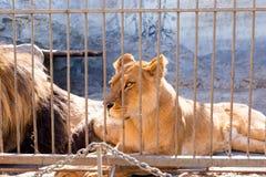 Une paire de lions en captivité dans un zoo derrière des barres Puissance et agression dans la cage Image libre de droits