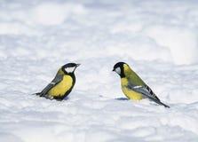 Une paire de mésanges lumineuses de petits beaux oiseaux a volé à la nouvelle année photo libre de droits