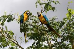 Une paire de Macaws bleus et jaunes Photo stock