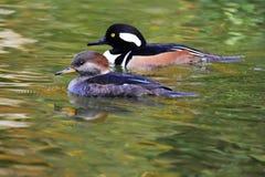 Une paire de natation de harle à capuchon dans l'étang photographie stock