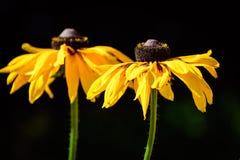 Une paire de noir jaune d'or vibrant a observé Susan Flowers photographie stock