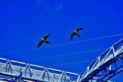 Une paire de perroquets colorés en vol photos stock