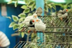 Une paire de perroquets d'amadin se repose sur une cage Images stock