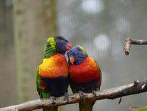 Une paire de perroquets de Lorikeet image stock