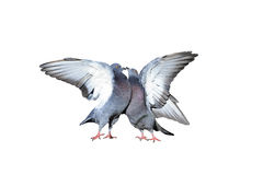 Une paire de pigeons de roche roucoulant et embrassant écarté ses ailes et plumes Image libre de droits