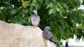 Une paire de pigeons sur une roche Photo stock
