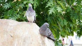 Une paire de pigeons sur une roche Photo libre de droits