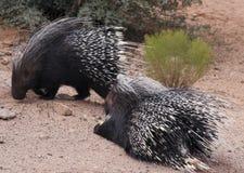 Une paire de porcs-épics crêtés africains Image libre de droits