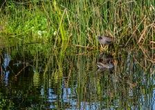 Une paire de poules d'eau communes dans les marécages de la Floride Image libre de droits