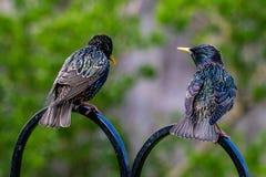 Une paire de regard vulgaris de Sturnus d'étourneaux comme si ils discutent toute la nourriture de choses connexe tandis qu'été p photo stock