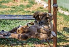 Une paire de singes lissera les cheveux Photographie stock