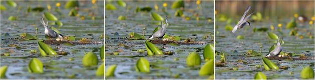 Une paire de sternes barbues a capturé un nid de grèbe noir-étranglé avec des oeufs dans lui image stock