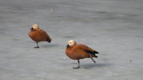 Une paire de support et d'équilibre vermeils de /Tadorna ferruginea/de tadorne de canards sur un pied sur la glace banque de vidéos