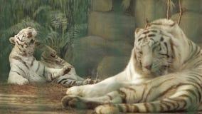 Une paire de tigres de Bengale blancs un tigre se raye patte, des autres lavages clips vidéos