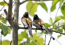 Une paire de Treepie Rufous images libres de droits