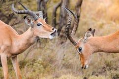 Une paire du combat masculin de jeu de melampus d'aepyceros d'impala en parc national de Kruger, Afrique du Sud photo stock