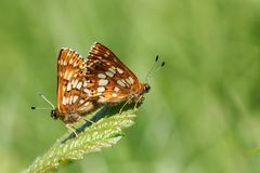 Une paire renversante du duc de accouplement du lucina de Hamearis de papillon de Bourgogne étant perché sur une feuille image libre de droits