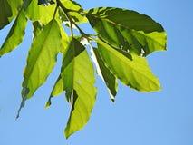 Une partie d'une branche avec les feuilles vertes À l'arrière-plan, le ciel bleu images stock