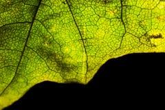 Une partie d'un macro de feuille d'érable de vert d'automne d'isolement Images stock