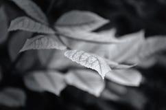 Une partie d'une feuille sur une branche dans l'acuité Photos stock