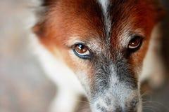 Une partie d'une tête de coup brun et blanc Kaew - chien thaïlandais Photographie stock