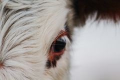 Une partie de tête de vache, visage animal regardant dans la caméra photo stock