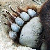 Une patte d'ours gris Image stock