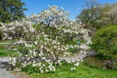 Une pause sous l'arbre de magnolia à Montréal photo libre de droits