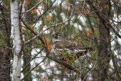 Une perdrix dans un arbre Photo stock