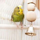 Une perruche domestique verte se reposant dans la cage image libre de droits