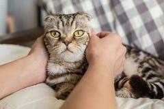 Une personne frottant des mains a étonné le pli d'écossais de chat Images libres de droits