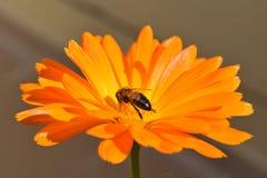 Une petite abeille sur une fleur orange photographie stock