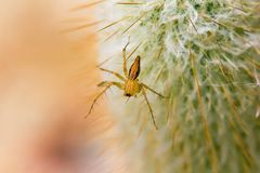 Une petite araignée brune marche sur un cactus photos stock