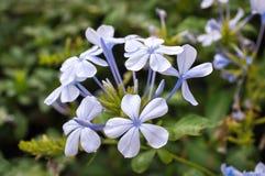 Une petite branche de jasmin bleu avec des fleurs et des bourgeons Photo libre de droits