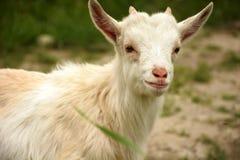 Une petite chèvre à la ferme Images stock