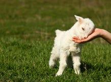 Chèvre de bébé Image stock