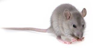 Une petite consommation grise de rat Photo stock