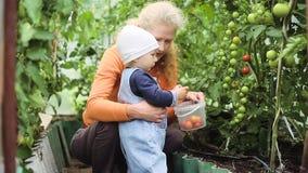 Une petite fille dans les tomates de récolte de serre chaude banque de vidéos
