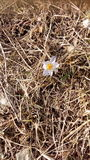 Une petite fleur de ressort Photo stock